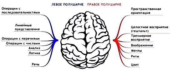какое полушарие головного мозга доминирующее?